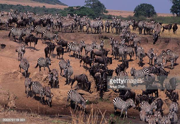 Migration of zebra (Equus burchelli) and wildebeest (Connochaetes taurinus)