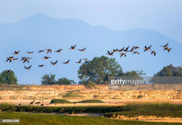 Migratory birds fly at a wetland around the Poyang Lake on October 9 2017 in Jiujiang Jiangxi Province of China A large number of birds including...