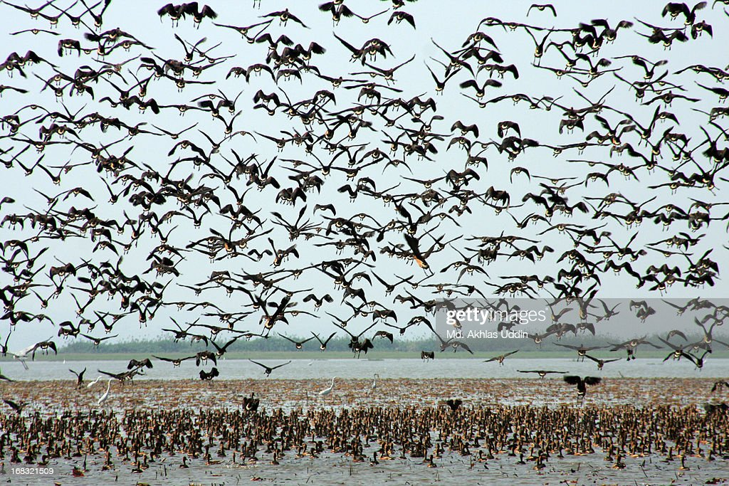Migratory birds in Bangladesh
