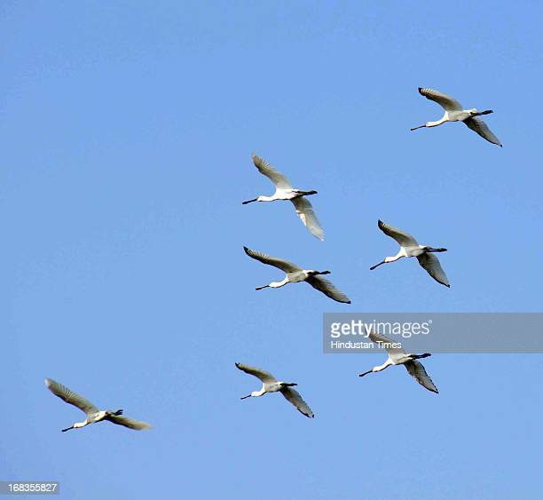 Migratory birds started flocking Sultanpur Lake on October 24 2010 in Gurgaon India