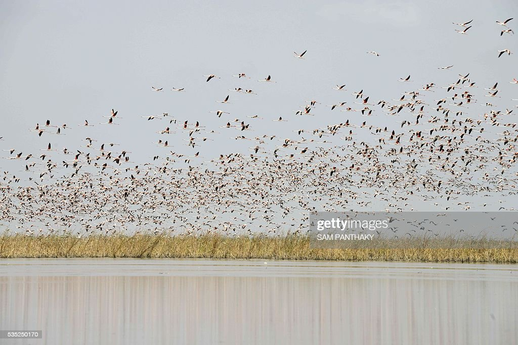 Migratory Flamingoes take flight at Nalsarovar Bird Sanctuary, some 70kms from Ahmedabad on May 29, 2016. The birds are being encouraged to stay at the wetlands in the western state of Gujarat as the locating of shoals of fish which form the diet of the flamingos, is made easier with the falling levels of water which are the result of drought conditions which are prevailing across northern India. / AFP / SAM