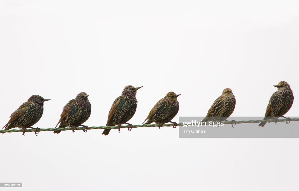 Migratory Starlings on telephone wires at Thames Estuary Avian Flu could be brought to Britain from Europe by migrating birds