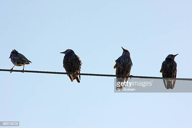 Migratory Starlings perched on a telephone wire Lambourn England