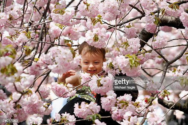 Mikaila Posniak 15 monthsold plays with the cherry blossoms during the Brooklyn Botanic Garden's Cherry Blossom Festival on April 28 2007 in the...