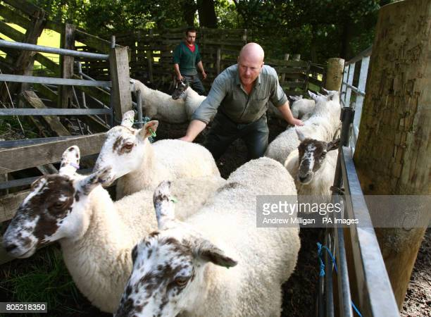 Mike Bisset ushers Scotch Mule gimmers into a pen prior to their dressing at Quarter near Denny Falkirk Scotland in preperation for the forthcoming...