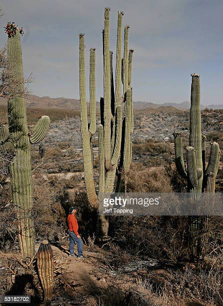 Mike Hallen Arizona representative of the National Register of Big Trees stands at the base of the Saguaro cactus called the 'Grand One' in the Tonto...