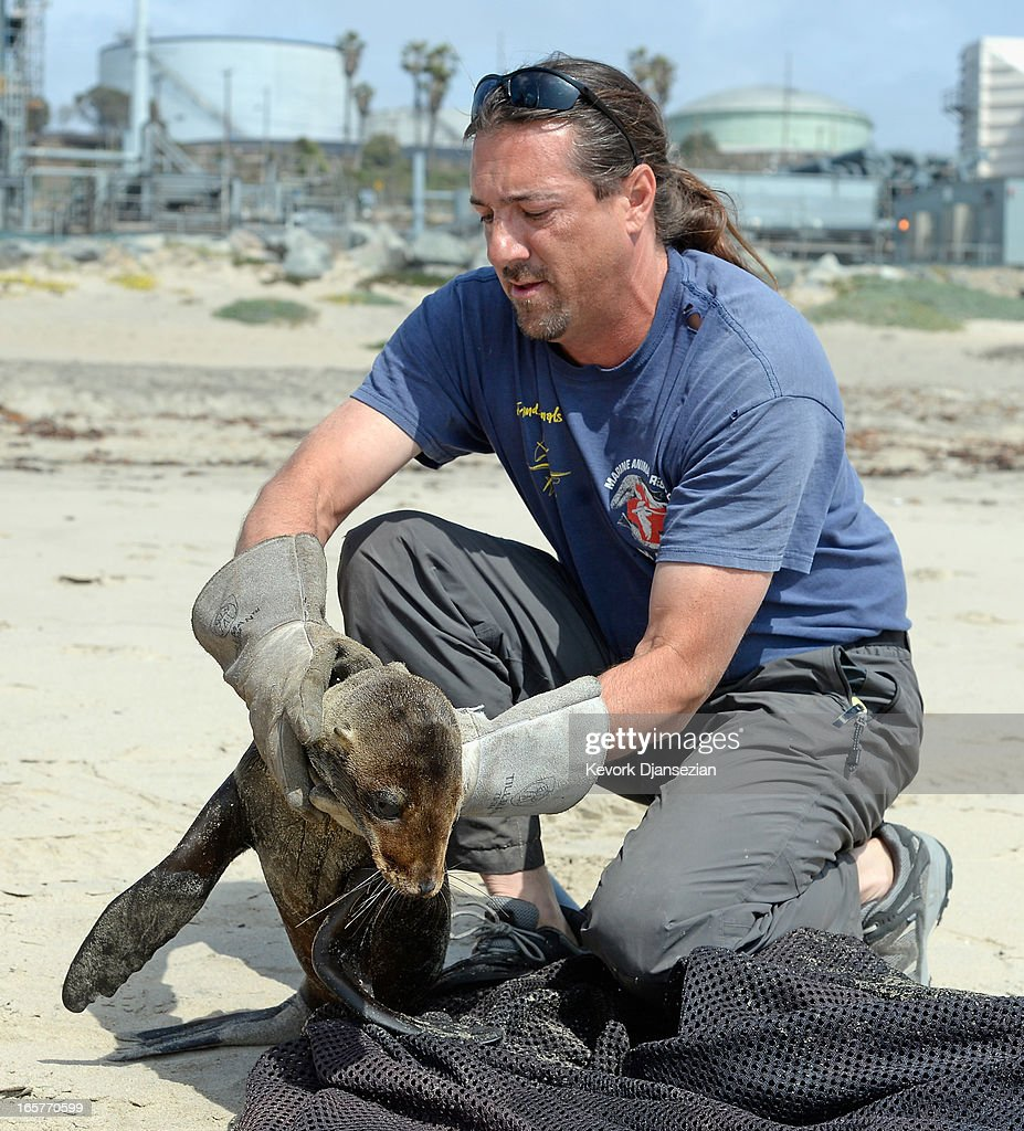 Mike Remski of Marine Animal Rescue checks for any visible sign of injury after rescuing a malnourished sea lion pup on Dockweiler State Beach on April 5, 2013 in Los Angeles, California. The sea lion pup, which weighed only 15 pounds, was transported to Marine Mammal Care Center at Fort MacArthur for rehabilitation. All along the California coast, sea lions have been getting stranded in great numbers since January for reasons unknown. The National Oceanic and Atmospheric Adminstration estimates that in the first three months of 2013, more than 900 malnourished sea lions have been rescued in the region compared to 100 during the same time period one year ago. Officials have declared an 'unusual mortality event' for the California sea lion, a designation that prompts immediate federal response.