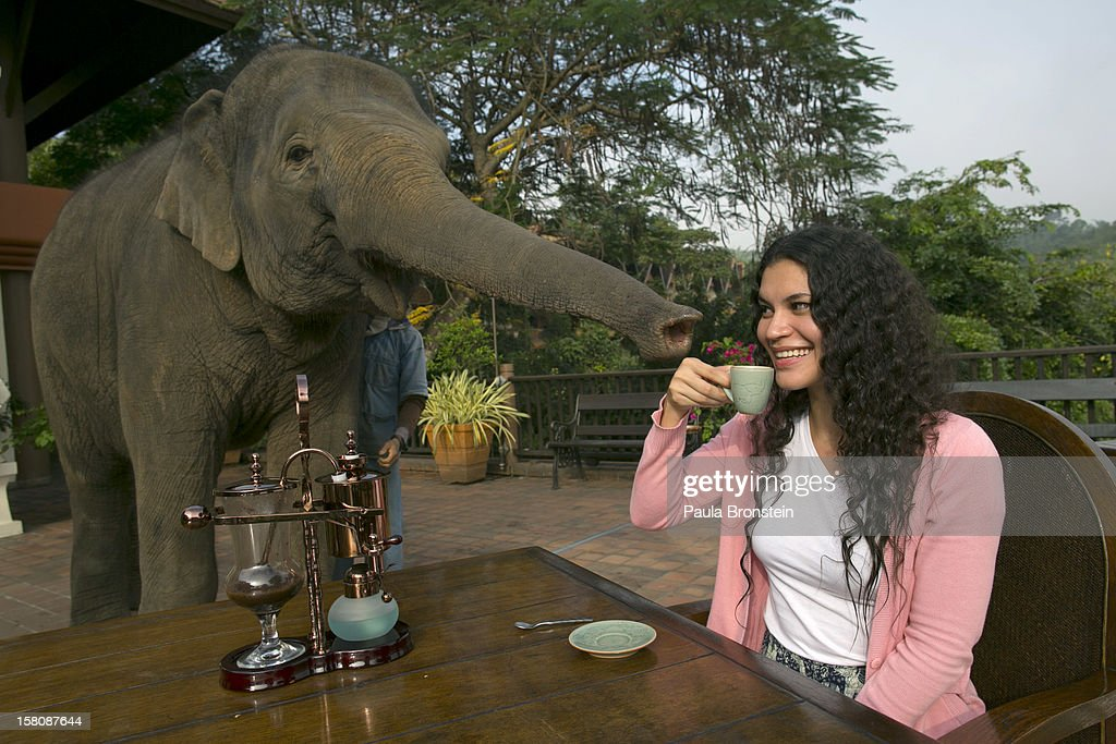 Miki Giles from Hong Kong tastes the Black Ivory Coffee at breakfast as Meena, a 6 year old baby elephant, gets curious at the Anantara Golden Triangle resort December 10, 2012 in Golden Triangle, northern Thailand. Black Ivory Coffee, started by Canadian coffee expert Blake Dinkin, is made from Thai arabica hand picked beans. The coffee is created from a process whereby coffee beans are naturally refined by a Thai elephant. It takes about 15-30 hours for the elephant to digest the beans, and later they are plucked from their dung and washed and roasted. Approximately 10,000 beans are picked to produce 1kg of roasted coffee. At USD 1,100 per kilogram or USD 500 per pound, the cost per serving of the elephant coffee equals USD 50, making the exotic new brew the world's priciest. It takes 33 kilograms of raw coffee cherries to produce 1 kilo of Black Ivory Coffee.