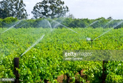 Irrigation sprinklers fed from the Murray River water grape vines.