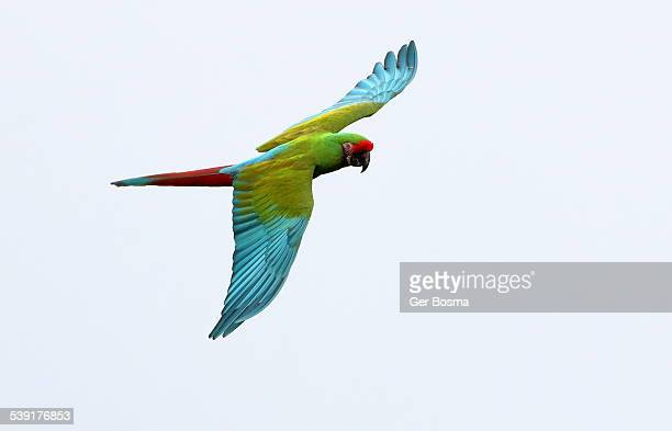 Military macaw in flight