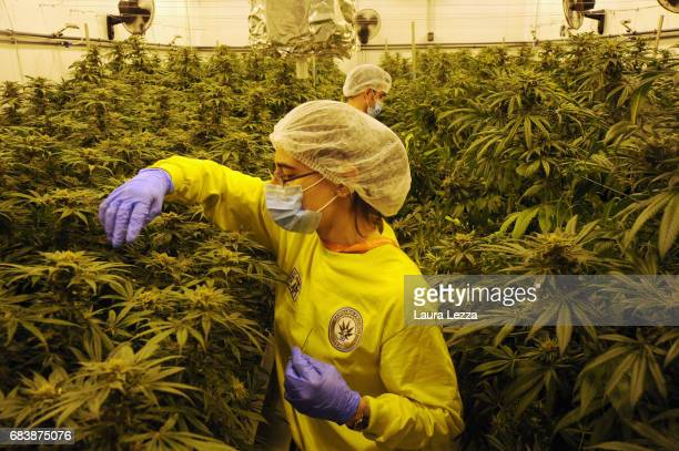 A military officer and an expert grower woman employee work in a greenhouse with cannabis produced by the Italian Army at Stabilimento Chimico...