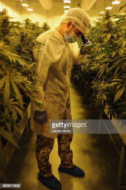 A military officer works in a greenhouse and looks trichomes of cannabis produced by the Italian Army at Stabilimento Chimico Farmaceutico Militare...