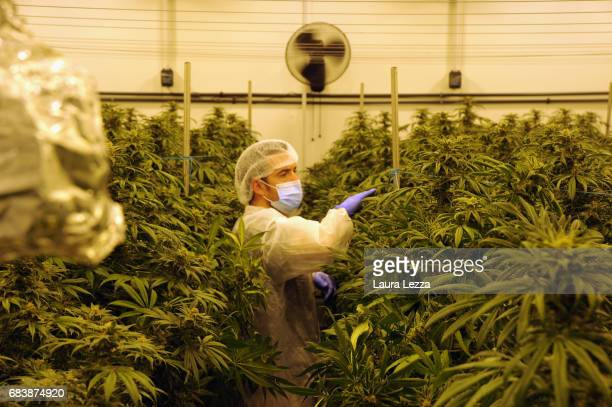 A military officer works in a greenhouse with cannabis produced by the Italian Army at Stabilimento Chimico Farmaceutico Militare on May 16 2017 in...