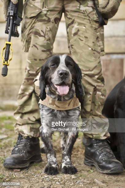 Military working dog Quin chills out between his handlers legs while taking a break from training on the Wiltshire military training ground of...