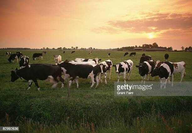milk dairy cows in field sunset