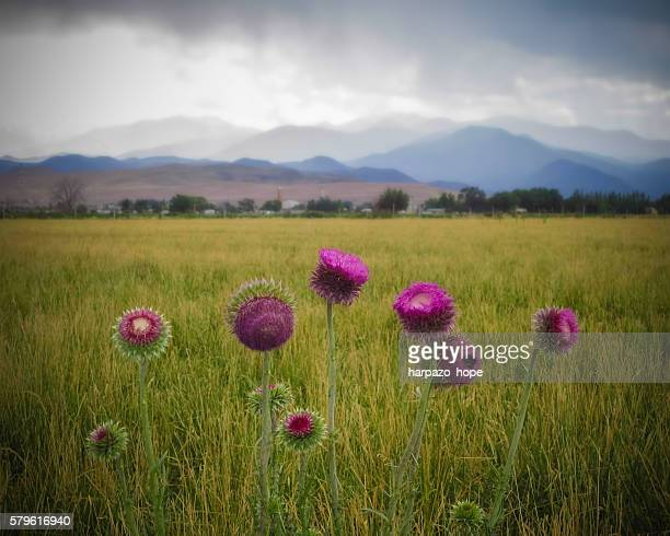 Milk thistle and mountains.