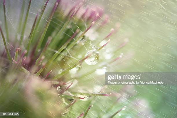 Milk Thistle in rain