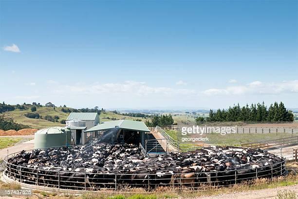 牛の乳搾り乳製品