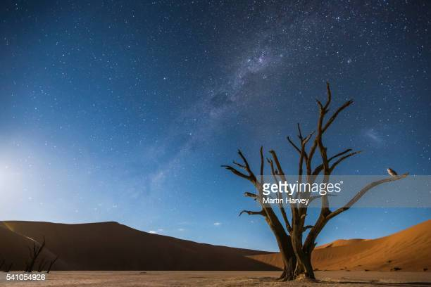 Milky Way over Dead Vlei, and a Barn Owl(Tyto alba) perched on the tree, Soussvlei, Namibia