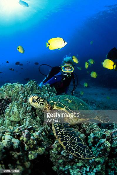 Milletseed butterflyfish Chaetodon miliaris school around this diver and green sea turtle Chelonia mydas Hawaii