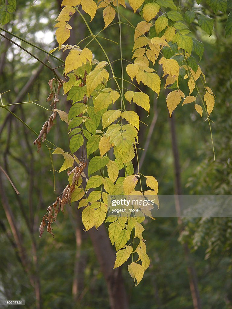 Millingtonia hortensis, Indian Cork Tree, Tree Jasmine : Stock Photo