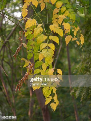 Millingtonia hortensis, Indian Cork Tree, Tree Jasmine : Stock Photo