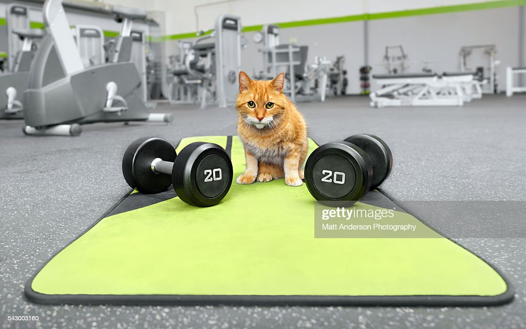Milo the tabby tiger mixed breed cat with weights.