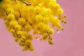 Mimosa, Acacia dealbata with pink background