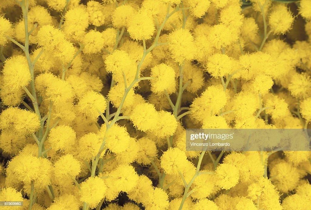 Mimosa Flowers, Full Frame.