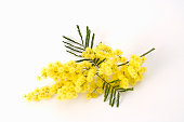 Mimosa Flowers on white background.