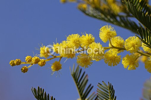 Mimosa Flowers Or Acacia Dealbata In Bloom Symbol For International