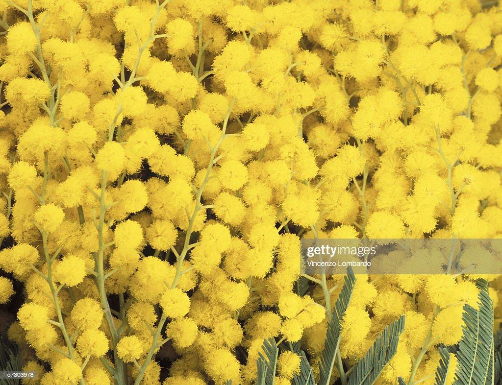 Mimosa Flowers. : Stock Photo