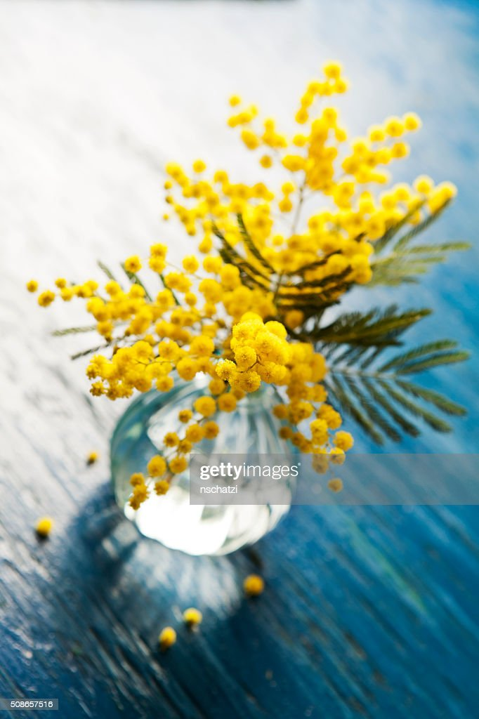 Mimosa : Stock Photo