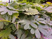 Mimosen, die Wunderpflanzen der Flora