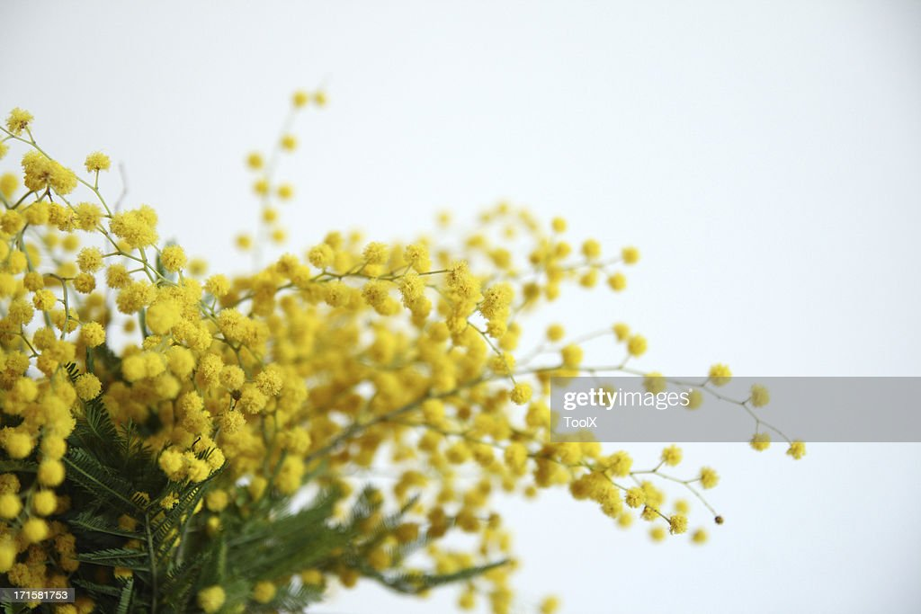Mimosa yellow flowers