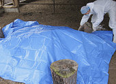 Minamisoma Japan An employee of Fukushima Prefecture covers dead cattle with a plastic sheet after spraying them with calcium hydroxide in Minamisoma...