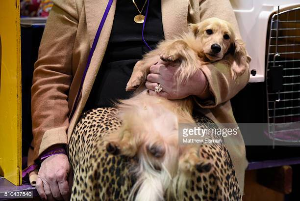 Minature Long Haired Dachshund waits in the grooming area during the first day of competition at the Westminster Kennel Club 140 Annual Dog Show on...