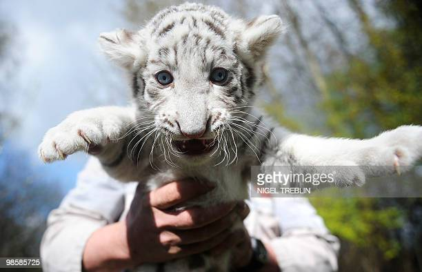 A minder holds a sixweekold white tiger baby on April 21 2010 at the SerengetiPark in Hodenhagen northern Germany Two white tiger babies Rico and...