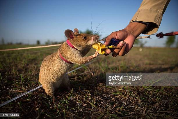 A mine detection rat is given banana as a reward after successfully identifying an inactive mine on July 2 2015 in Siem Reap Cambodia The Cambodian...