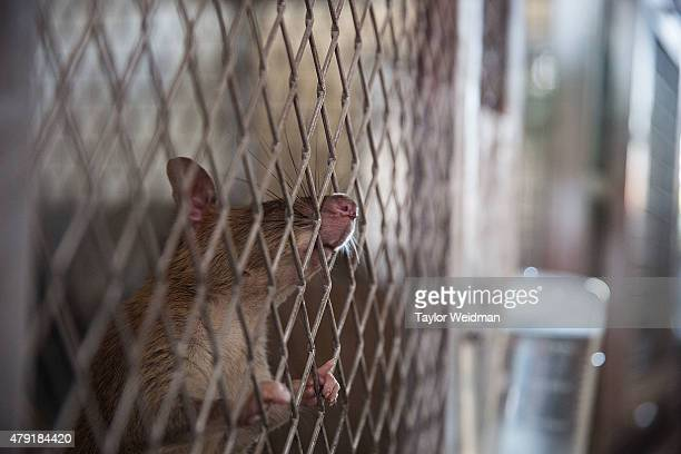 A mine detection rat sticks it's nose out of the cage at feeding time on July 2 2015 in Siem Reap Cambodia The Cambodian Mine Action Center working...