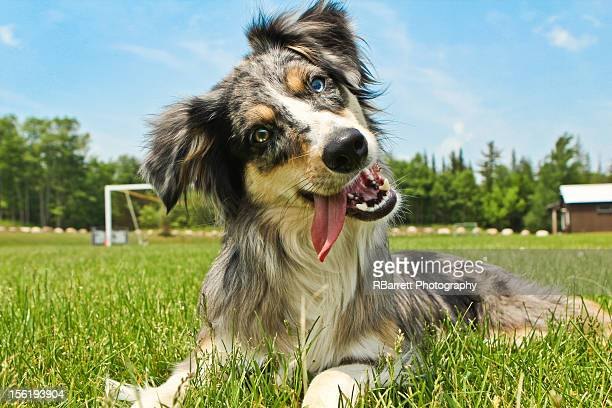 Mini Australian shepherd in field
