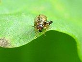 Alticino longitarsus Chrysomelidae