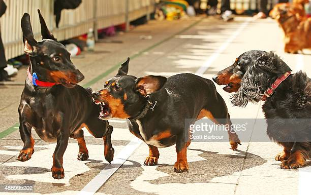 A mini dachshund chases a competitor as he competes in the Hophaus Southgate Inaugural Dachshund Running of the Wieners Race on September 19 2015 in...