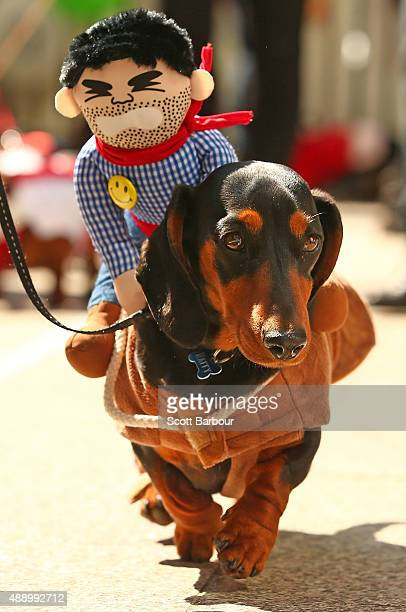 A mini dachshund competes in the Hophaus Southgate Inaugural Best Dressed Dachshund competition on September 19 2015 in Melbourne Australia 30 mini...