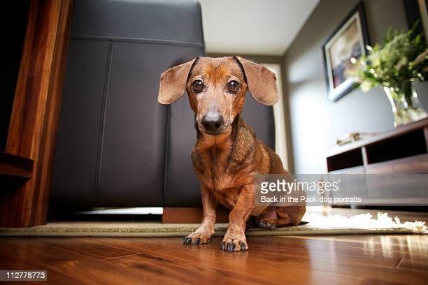 Mini Dachshund sitting in stylish living room