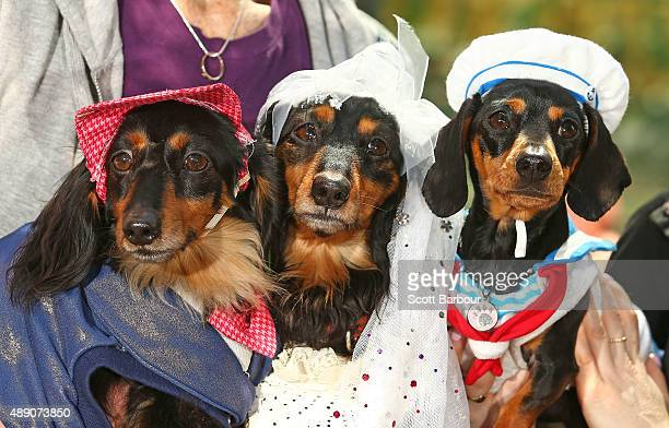 Mini dachshunds compete in the Hophaus Southgate Inaugural Best Dressed Dachshund competition on September 19 2015 in Melbourne Australia 30 mini...