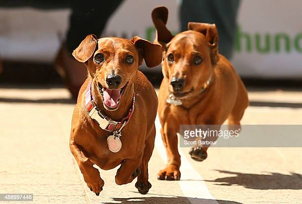 Mini dachshunds run as they compete in the Hophaus Southgate Inaugural Dachshund Running of the Wieners Race on September 19 2015 in Melbourne...