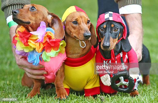 Mini dachshunds Willy dressed as a surf livesaver and Cooper dressed as a racing car driver compete in the Hophaus Southgate Inaugural Best Dressed...