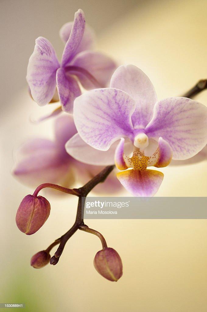 Mini flowering pink Phalaenopsis orchid