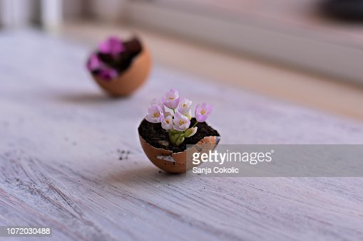 Mini pink flowers in eggshells on a wooden background/ Spring home rustic decoration/ Conceptual image of spring awakenings and new beginnings : Stock Photo